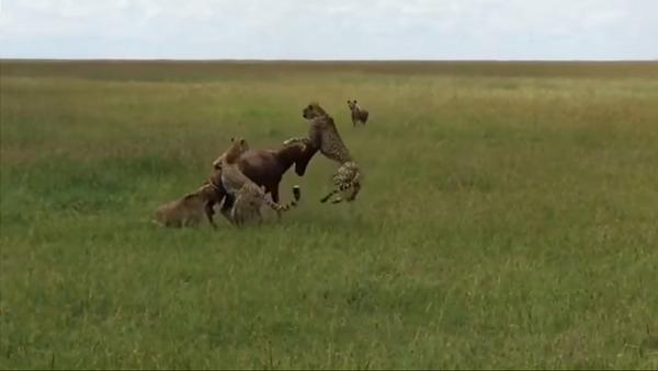 Антилопу схватили пять гепардов и гиена, но она смогла выбраться – невероятное видео - Sputnik Грузия