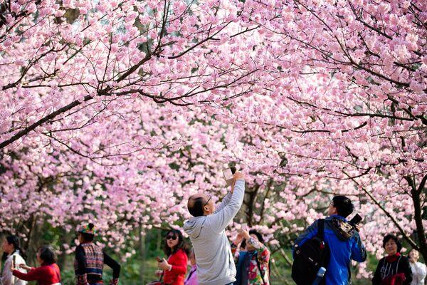 В Японии 27 марта празднуют праздник цветения сакуры, или Ханами - Sputnik Грузия