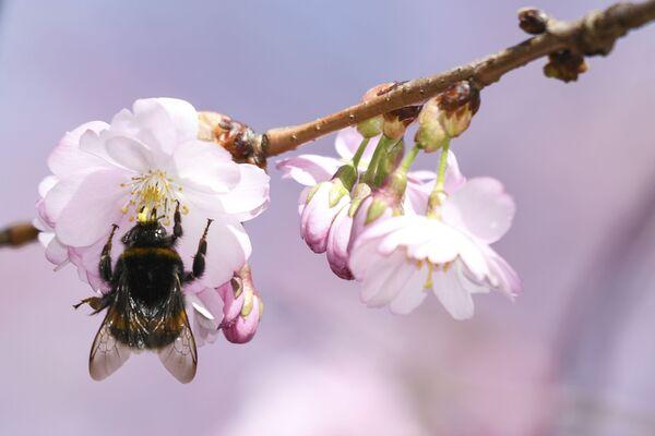Как правило, цветок сакуры состоит из пяти лепестков, которые напоминают о пяти важных аспектах жизни – удаче, процветании, здоровье, радости и мире - Sputnik Грузия