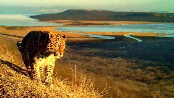 Амурский тигр и дальневосточный леопард попали в фотоловушку в окрестностях Владивостока - Sputnik Грузия
