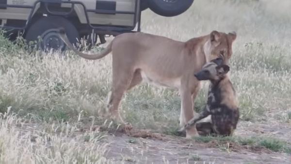 Гиеновая собака перехитрила львицу, будучи схваченной за шею – невероятное видео - Sputnik Грузия