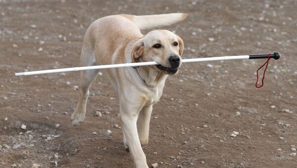 Собака-поводырь проходит обучение с инструктором в условиях города. - Sputnik Грузия