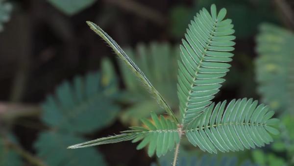 Стеснительное растение прячет листья от прикосновений – удивительное видео - Sputnik Грузия