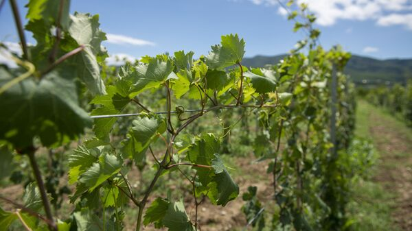Виноградники в Сагурамо - Sputnik Грузия