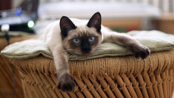 Тайская кошка - Sputnik Грузия