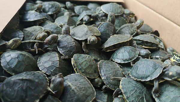 Красноухие черепахи - Sputnik Грузия