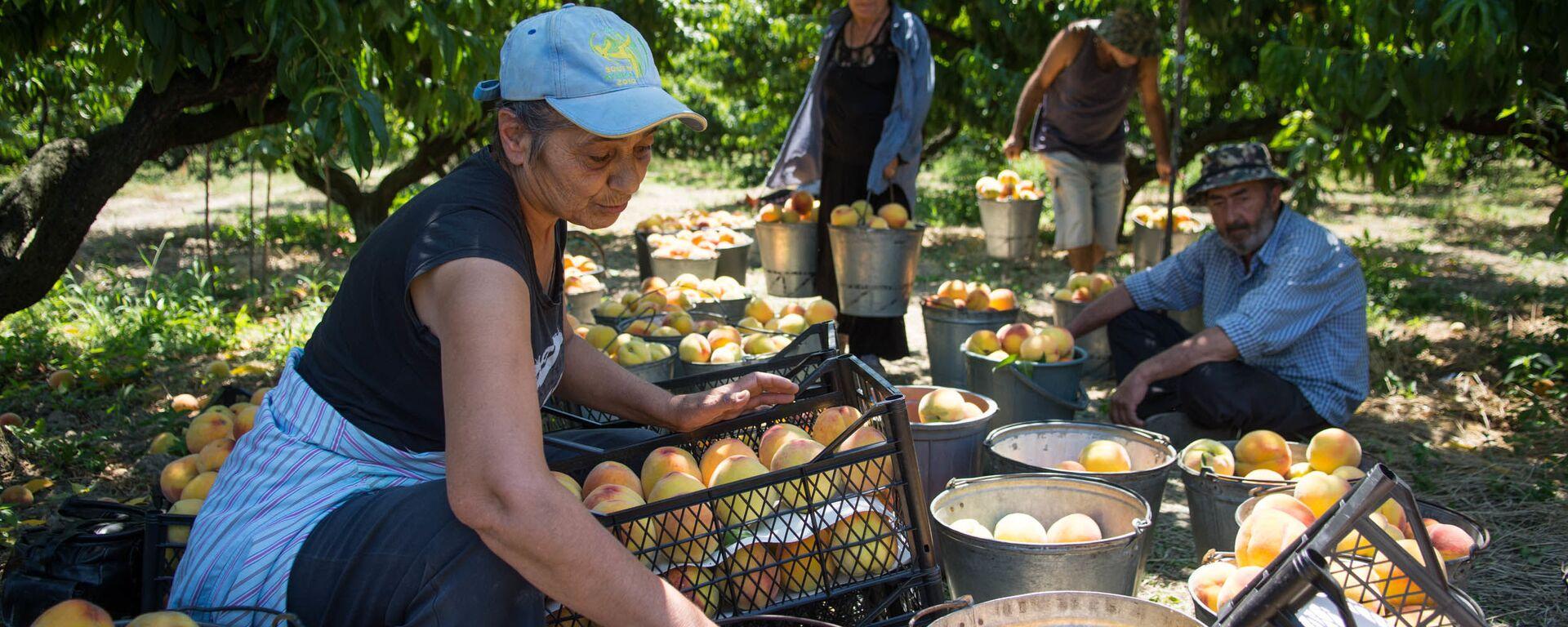 Сбор урожая персиков в Кахети - Sputnik Грузия, 1920, 21.07.2021