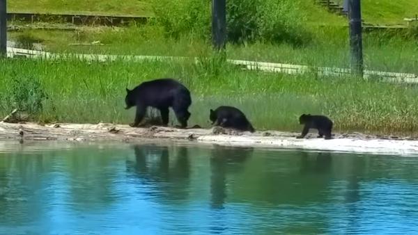 Волнующий переход медведицы с детенышами через глубокое озеро попал на видео - Sputnik Грузия