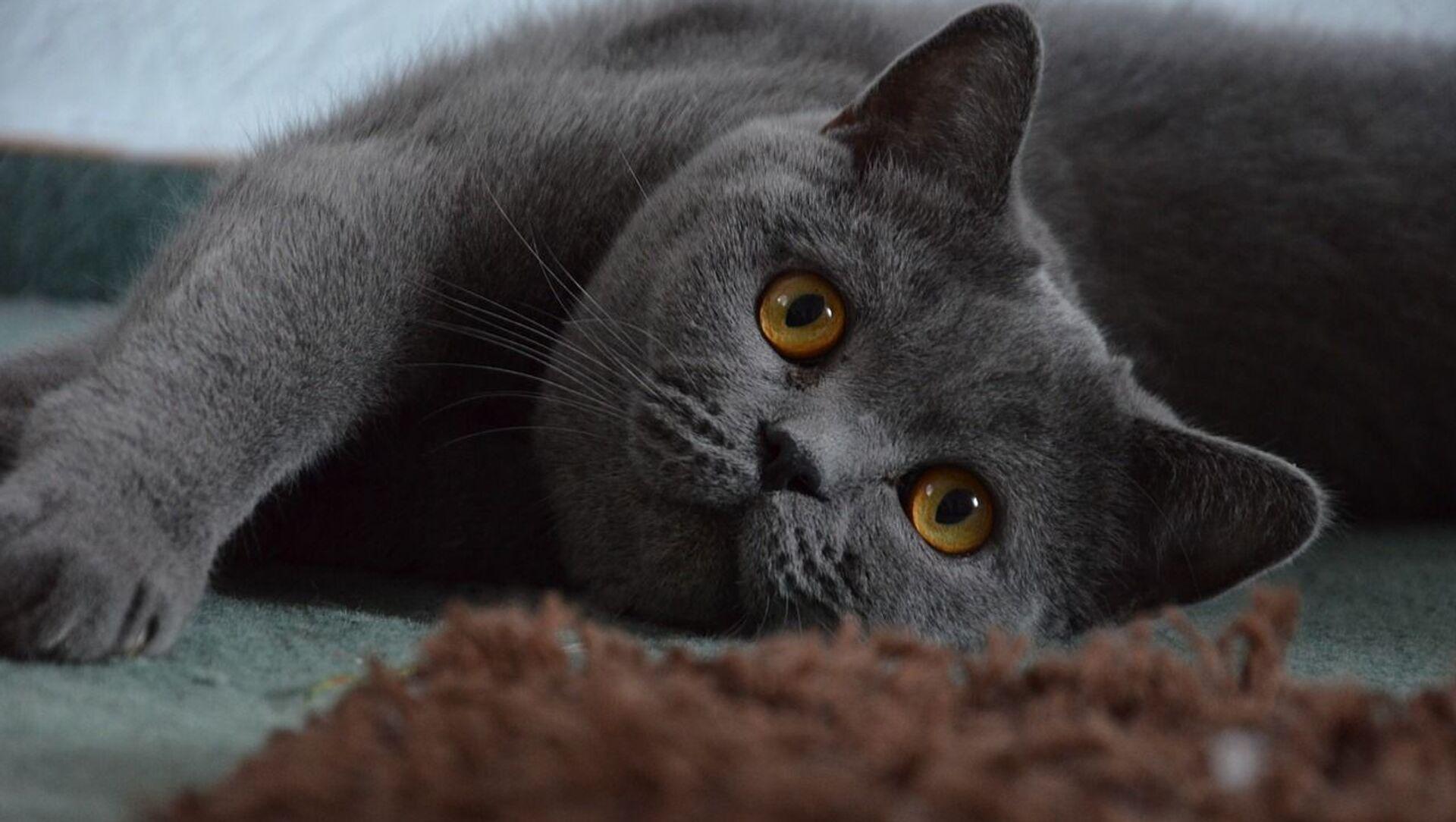 Британская короткошерстная кошка - Sputnik Грузия, 1920, 15.02.2021