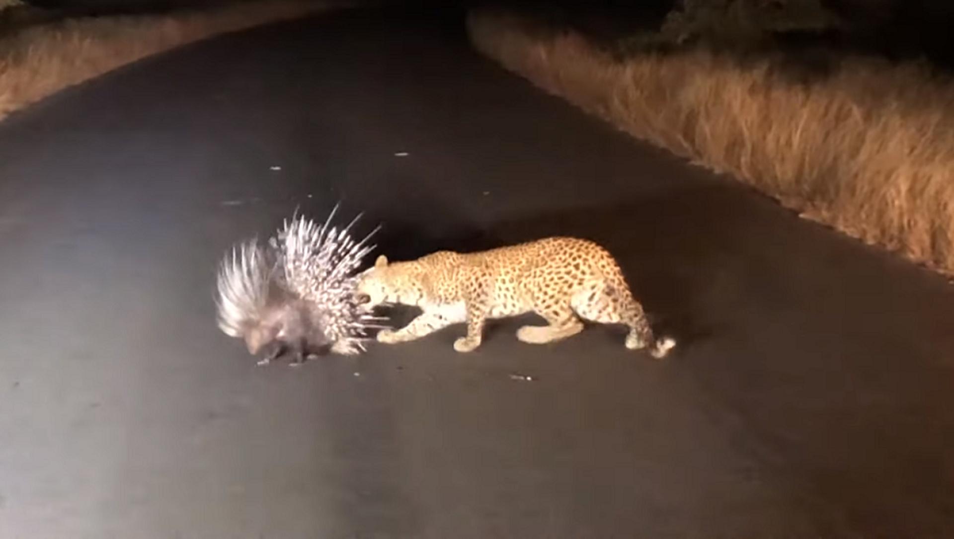 Нападение голодного леопарда на дикобраза сняли на видео - Sputnik Грузия, 1920, 28.07.2021