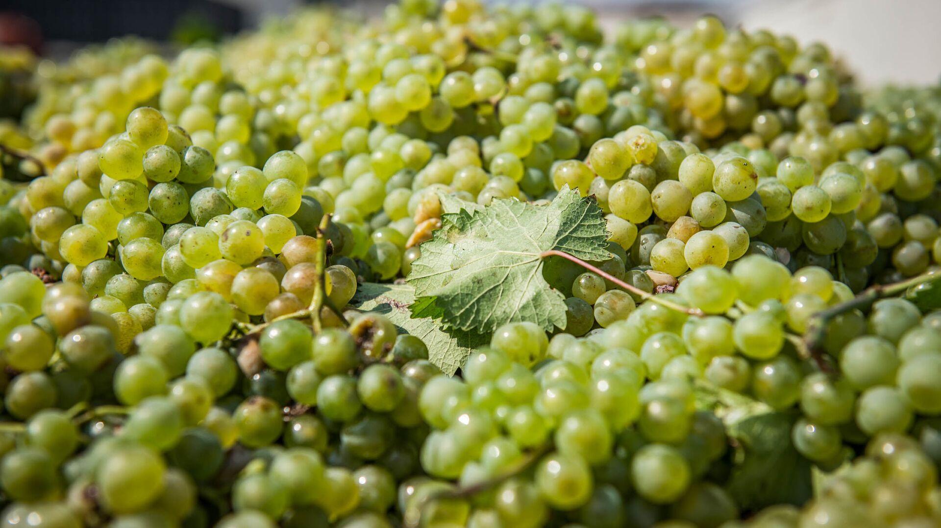 Сбор урожая винограда - Ртвели в регионе Кахети - Sputnik Грузия, 1920, 17.09.2021