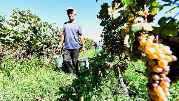 Ртвели в Кахети - сбор урожая винограда в Восточной Грузии - Sputnik Грузия