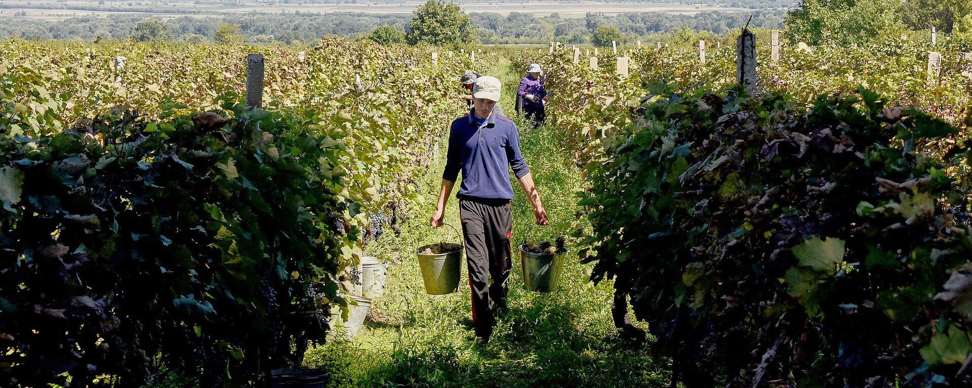 Ртвели в Кахети - сбор урожая винограда в Восточной Грузии - Sputnik Грузия, 1920, 01.09.2021