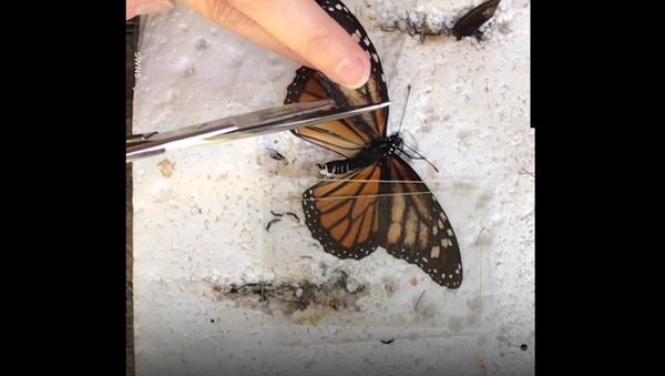 Девушка нашла бабочку с поврежденным крылом и сотворила настоящее чудо – видео - Sputnik Грузия