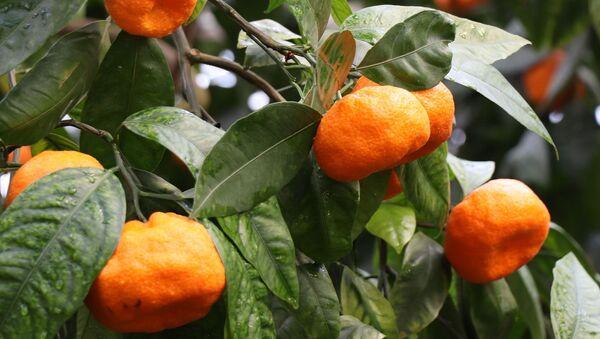 Сбор урожая мандаринов - Sputnik Грузия