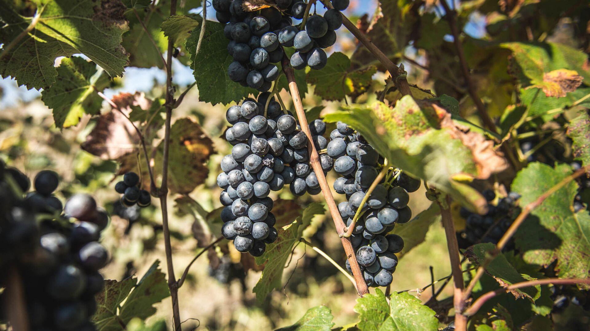 Сбор урожая винограда ртвели в высокогорном регионе Рача  - Sputnik Грузия, 1920, 22.09.2021