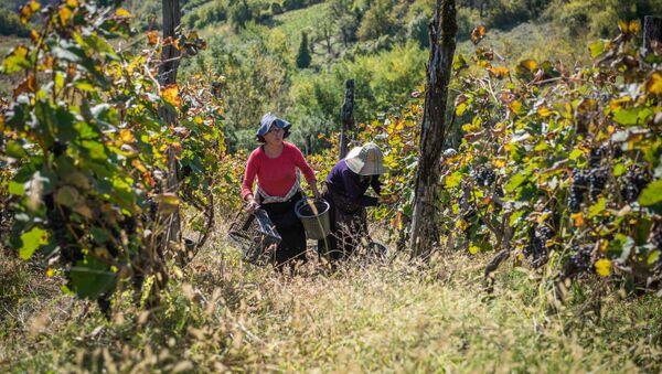 Сбор урожая винограда ртвели в высокогорном регионе Рача - Sputnik Грузия