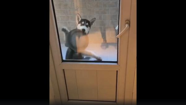 Очень голодный щенок пытается привлечь внимание хозяина – бесподобное видео - Sputnik Грузия
