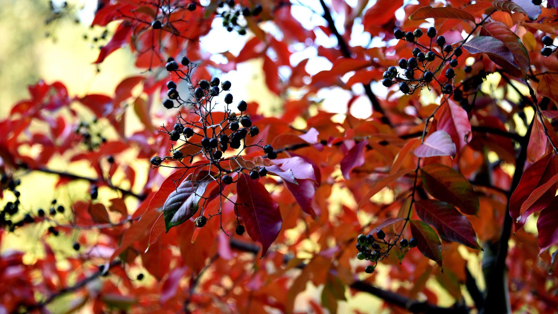 Прощай, осень! Тбилисский ботанический сад. Красные листья на одном из деревьев - Sputnik Грузия, 1920, 22.09.2021