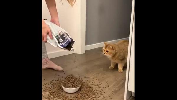 Девушка засыпала миску кота кучей корма, и его реакция бесценна – видео - Sputnik Грузия