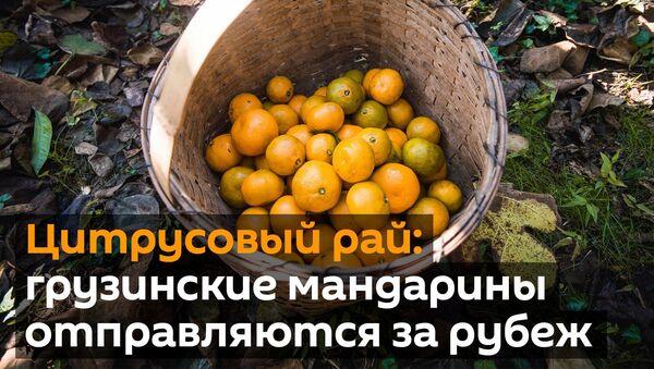 Цитрусовый рай: грузинские мандарины отправляются за рубеж - видео - Sputnik Грузия