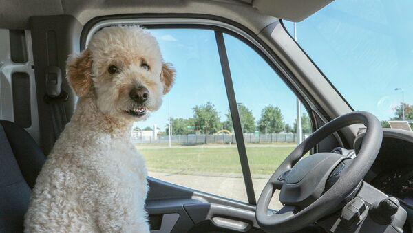 ძაღლი საჭესთან - Sputnik საქართველო