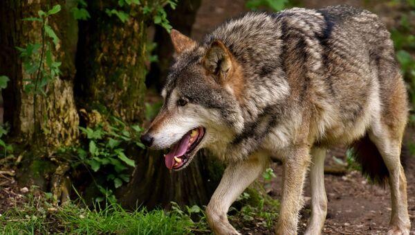 მგელი - Sputnik საქართველო